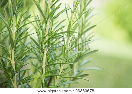 Fresh Rosemary Herb, close-up.