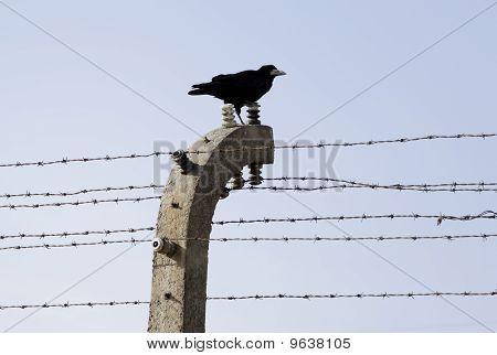Crow sitting on fence in KL Auschwitz.