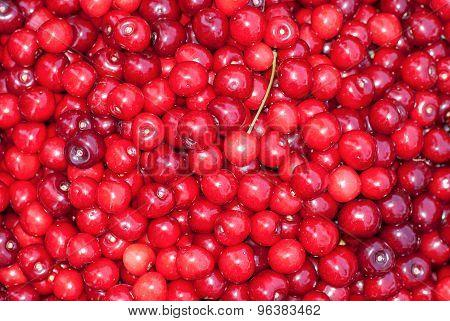 Bunch Of Fresh, Juicy, Ripe Cherries