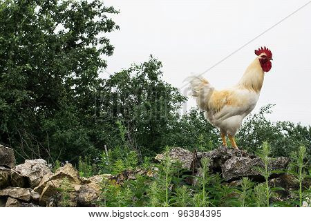 White Rooster Walking On The Stone Wall