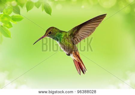 Hummingbird In Flight Over Bright Green Background