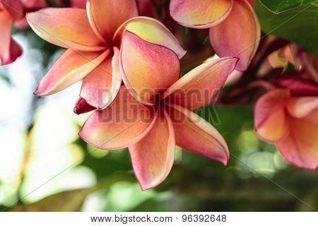 Beautiful Plumeria Flower