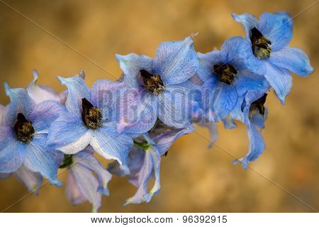 Blue Colored Delphinium Flowers