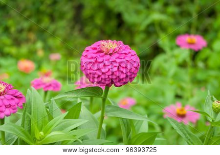 Zinnia Flower Blooming