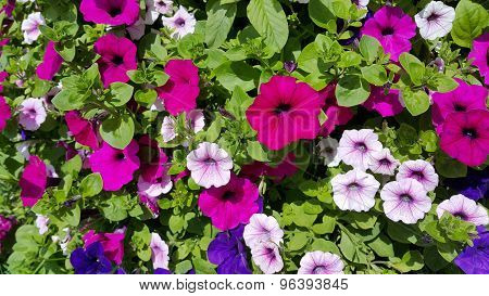 Flowers Of Bright Petunia