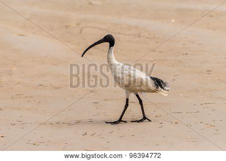 White Ibis Walking On The Beach