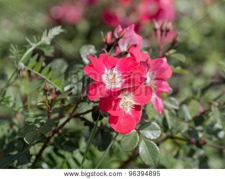 Wild Rose In Summer