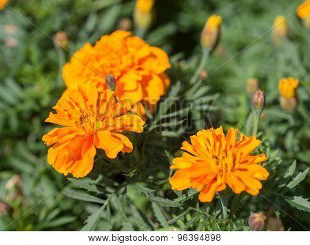 Marigolds Close Up