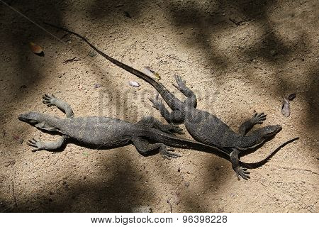 Monitor Lizards, Borneo