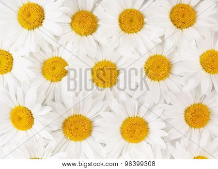 Background of white daisies