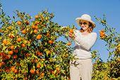 picture of mandarin orange  - Smiling caucasian girl in white tshort and hat harvesting mandarins and oranges in organic farm - JPG