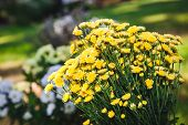 pic of chrysanthemum  - Bouquet of small yellow wild flowers - JPG
