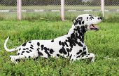 foto of spotted dog  - Dalmatian dog walking on the street in the summer