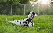 stock photo of spotted dog  - Dalmatian dog lying on green grass in summer - JPG