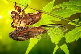 image of transformation  - Cicada metamorphosis  - JPG