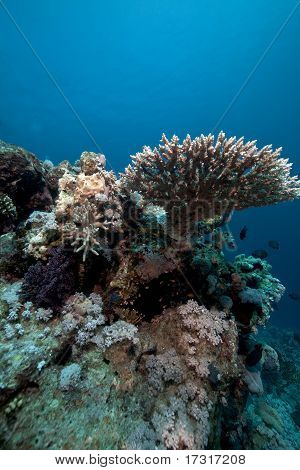 Acropora And Fish In The Red Sea.