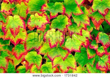 Bleeding Ivy