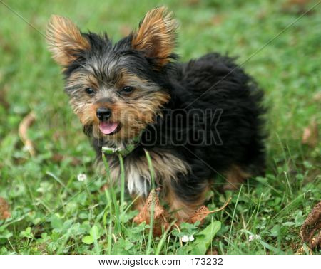 Yorkshire Terrier Pup