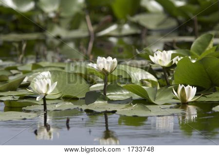 White Water Lillies (Nymphaea Alba) In voller Blüte auf dem See