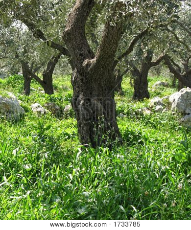 Olive Tree Trunk 4