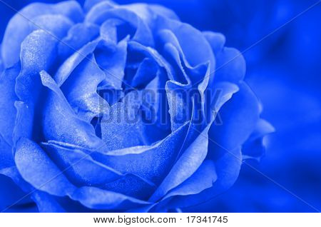 blue rose in close up
