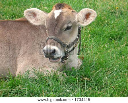 Jersey Calf Resting