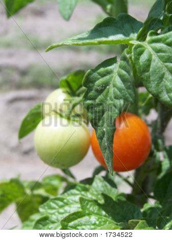 Small Tomatoes