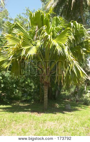 Coco De Mer Tree