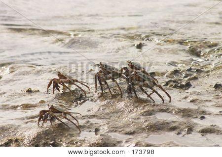 Tropical Crabs