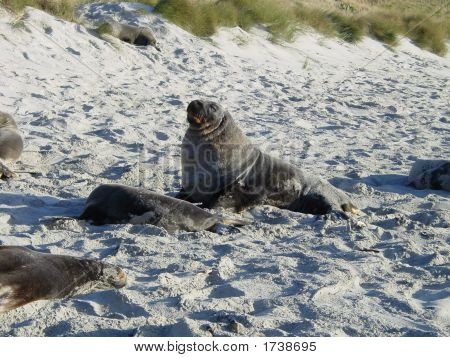Beachmaster - Hooker Sea Lion