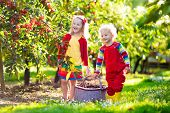 Kids Picking Cherry On A Fruit Farm Garden poster