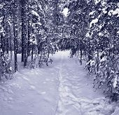 Snow path in winter forest. Tinted picture