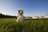 foto of english setter  - An English Setter laying on the grass in the backyard - JPG