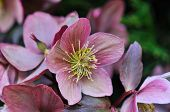 image of helleborus  - Helleborus one of the first spring flowers in the garden - JPG