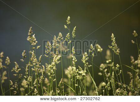 Gras-Nahaufnahme