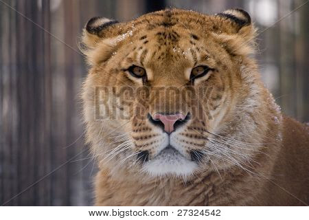 liger looking straight at the camera