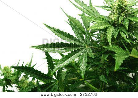 Bush de um cânhamo com gotas nas folhas