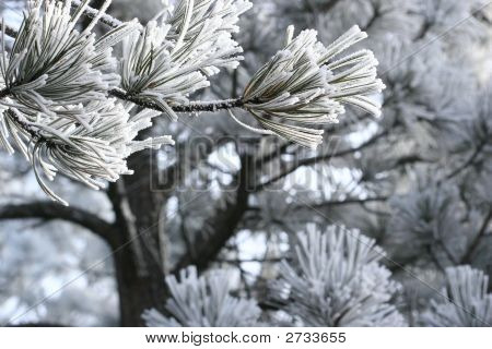 Ice Frost On Pine Branch