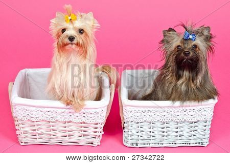 Two puppies girl/ bitch and boy/ male peeking from baskets