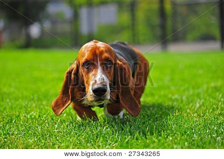 Basset Hound whiskers