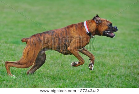 Boxers takes off for a run
