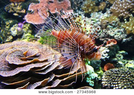 The Red lionfish (Pterois volitans)
