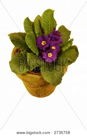 Puffy Purple Violet Plant