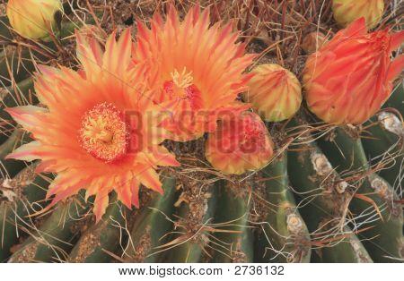 Cactus Blooms 1