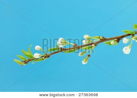 White plum twig with flowers against blue