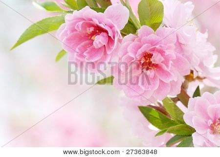 Pink Flowers--Peach blossom