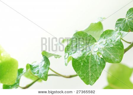 Green ivy with droplets closeup