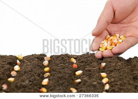 sowing maize in a row,concept.