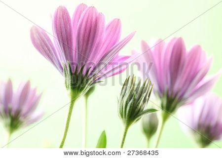 Closeup of purple daisies