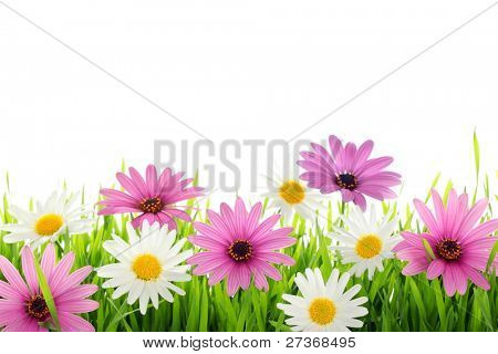 Daisy flower in green grass